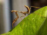 Posing Praying Mantis