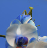 Mr or Mrs Mantis on my blue orchid.