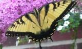 butterfly on the butterfly bush