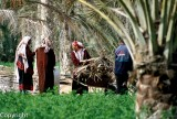 Tending the palm groves in Douz, Tunisia's largest Saharan oasis