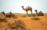 Camels browsing in the Wahiba Sands