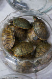 Terrapins for sale at Flower, Bird, Fish and Insect Market
