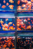 Goldfish tanks at the Flower, Bird, Fish and Insect Market