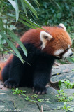 Red panda - a completely different animal