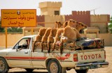 Driving home from the livestock market at Buraimi, Oman