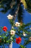 Fijian hibiscus