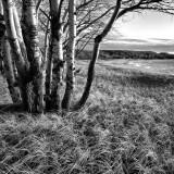 Grass and Birch