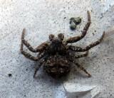 Bassaniana utahensisat Spider at house