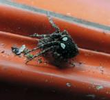 Eustala anastera Wlot   Spider 725 site.jpg