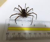 spider Dolomedes    largest spider native to Canada