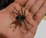 spider Dolomedes