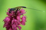 Parasitic Wasp - Hongerwesp - Gasteruption jaculator