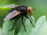 Giant Tachinid Fly - Stekelsluipvlieg - Tachina grossa