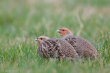 Netherlands: Grey Partridge