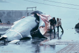 Iceland, June 28, 1979: Whaling Station Hvalfjördur