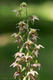 Broad-leaved Helleborine - Breedbladige Wespenorchis - Epipactis helleborine