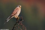 falconidi