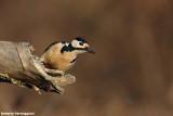 Dendrocopos major (graet spotted woodpecker-picchio rosso maggiore)