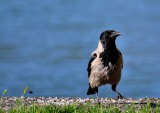 Hooded crow  siva vrana  dsc_0419xNpb