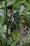 Orthoptera kobilica  dsc_0997y