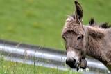 Donkey with flowers DSC_0788xpb