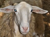 Ovis aries ovca dsc_0216(4)pb