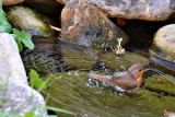 robin_erithacus_rubecula_taica_aand_water