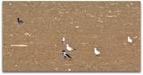 Crows and Larus ridibundus   vrane in rečni galebi  dsc_0549ypb