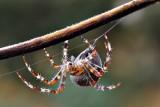 Araneus diadematus navadni križevec  DSC_0534ypb