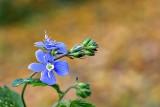 Persian speedwell Veronica persica perzijski jetrnik dsc0489ypb