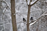 Hooded crow  siva vrana DSC_0299xpb