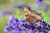 Butterfly DSC_0185xpb