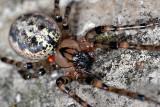 Spider DSC_0049xpb