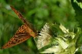 Argynnis paphia gospica dsc_0189ypb