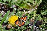 Butterflies  dsc_0420xpb