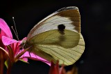 Butterfly Pieris brassicae  kapusov belin  DSC_0083xpb