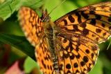 Butterfly DSC_0604xpb