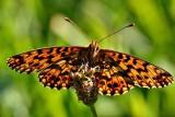 Butterfly DSC_0621gpb
