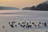 Birds on the  freeze river  dsc_0330xpb