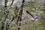 White Stork bela štorklja DSC_0464xpb