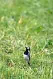 Motacilla alba bela pastirica DSC_0820xpb