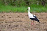White Stork bela štorklja  DSC_0460xpb