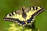 swallowtail_papilio_machaon_lastoviar