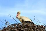 White Stork bela štorklja  dsc_0482xpb