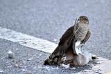 Eurasian sparrowhawk  Skobec   DSC_0190s13022016pb