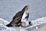 Eurasian sparrowhawk  Skobec  DSC_0196g130222016Npb