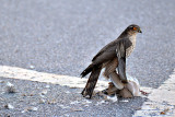 Eurasian sparrowhawk  Skobec  DSC_0183x13022016Npb