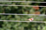 Little bird  DSC_0071x14072016pb