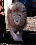 The Lions of Capron Park
