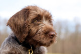 Wirehaired Pointing Griffon Posing for a Portrait